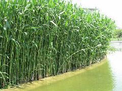 供应玉台芦苇,芦苇苗,芦苇种植有限公司