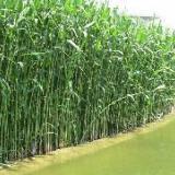 供应中卫芦苇,芦苇价格,芦苇种植公司