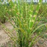 供应问水芦竹,芦竹苗,芦竹种植有限公司