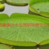 供应银川王莲种植,荷花种植价格,睡莲种植技术,芦苇种苗销售