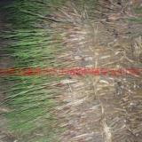 供应黑河芦苇,芦苇价格,芦苇种植公司