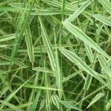 供应中卫芦竹,芦竹价格,芦竹种植公司