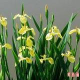 供应大谷鸢尾花,鸢尾花苗,鸢尾花种植有限公司