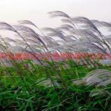 供应沈阳芦苇苗,芦苇种植方法,芦苇销售公司,芦苇低价批发
