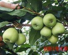 如何买到最好的梨型山楂苗