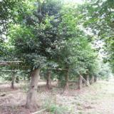小葉榕移植苗15公分至25公分公路專用綠化苗