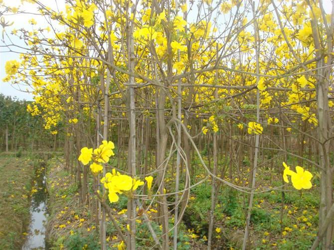 供应低价5公分黄花风铃木批发网各种规格风铃木红花紫花黄花