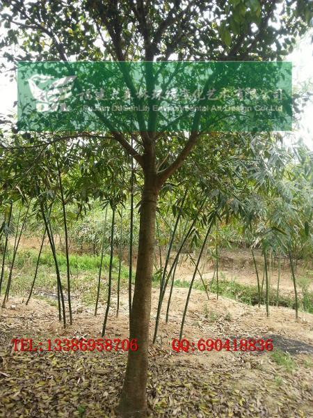 供应低价5公分小叶红皮榕精品货福建红榕网各种规格红皮榕