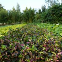 供应大中小袋装彩叶扶桑地被苗各种规格苗灌木苗扶桑