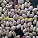 供应东北产区绿色有机芸豆奶花芸豆