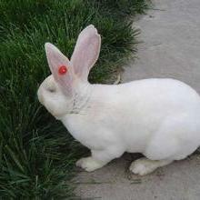 供应山西肉兔种兔养殖