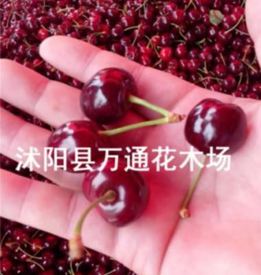 车厘子樱桃苗图片/车厘子樱桃苗样板图 (3)