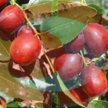 供应红枣浓缩汁,浓缩枣汁(河北 沧州)