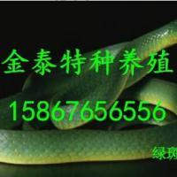 批发绿曼巴蛇,联系电话15867656556