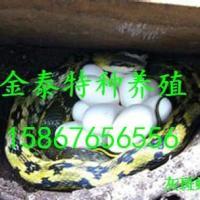 批发灰斑蝮蛇,联系电话15867656556 图片 效果图