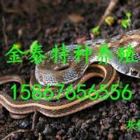 批发灰松蛇,联系电话15867656556