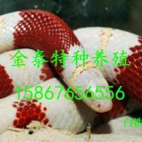 批发白烙铁头蛇,联系电话15867656556