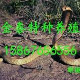 批发眼镜王蛇,联系电话15867656556
