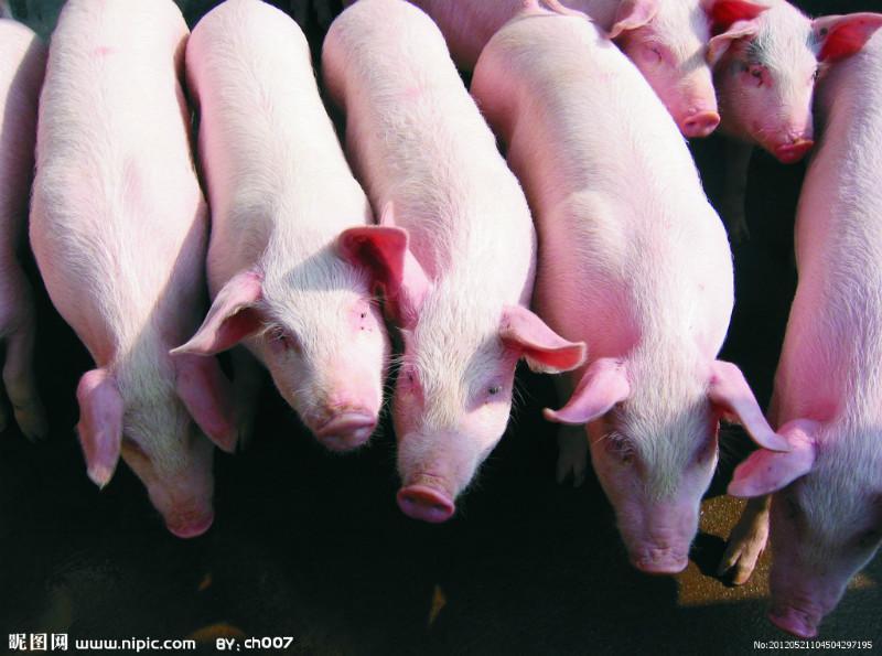 猪的图片大全 的图像结果