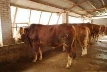 供应鲁西黄牛价格,养牛利润有多大,肉牛养殖