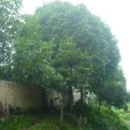 广西桂花树生产供应商图片