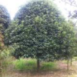 供应广西桂花树厂家订做 。联系电话13877322681