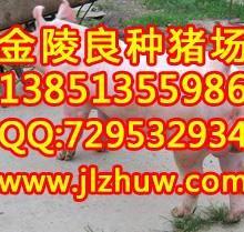 专业繁殖英系大约克种公猪面向福建省湖南省等低常年供应批发