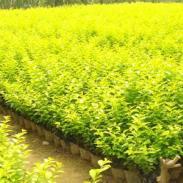 盆栽金叶榆图片