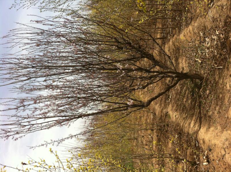 供应矮樱 紫叶李  西府海棠 榆叶梅 碧桃 火炬树苗 保定苗圃