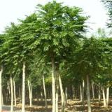 供应平头千头椿树苗   1-2-3-年头 定杆树苗  树形优美038