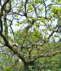 供应龙桑  龙桑树苗  1-12厘米树苗  苗圃苗木基地出售  保定批发