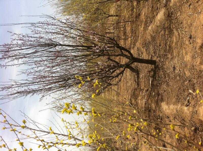 供应紫叶矮樱 紫叶李  西府海棠 榆叶梅 碧桃 火炬树 保定苗圃