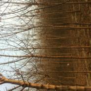 竹柳树图片