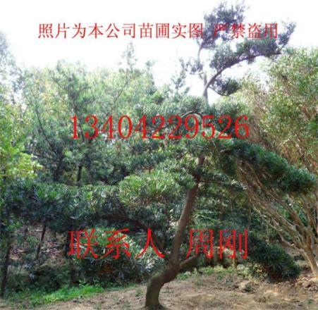 图片衣柜造型苏州v图片罗汉|罗汉松树松树1米造型设计图图片