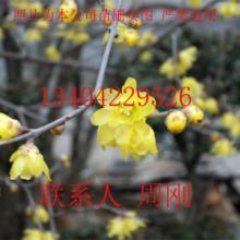 供应苏州腊梅花腊梅树桩苏州苗木公司图片