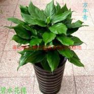 胶南花卉租赁价格图片