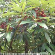 黑壳楠种子图片