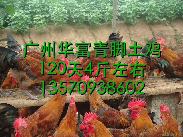 供应广州青脚土鸡苗哪里有-青脚土鸡苗批发-青脚土鸡苗批发价格-青脚土鸡苗报价