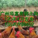 广州青脚土鸡苗哪里有图片