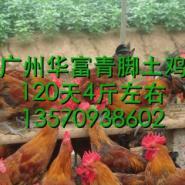 广州青脚土鸡苗价格图片
