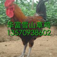广州马钢鹅苗怎么卖图片