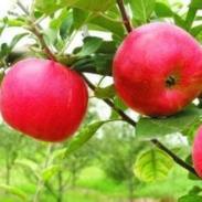 优质苹果苗木图片