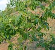 优质占地2公分至10公分核桃树苹果图片