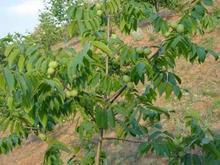 供应用于种植的优质占地2公分至10公分核桃树苹果树批发