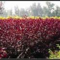 山西红叶小檗皂角苗木图片