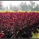 供应用于种植的山西多规格红叶李蜀侩最新价格