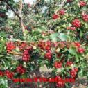 供应用于种植|食用的山西优质山楂树山楂苗山楂果图片