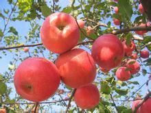 各种苹果苗图片