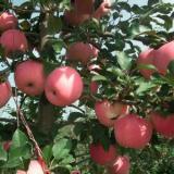 供应山西运城苹果苗基地电话