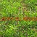 山西1至2年的皂角苗大刺皂角苗价图片